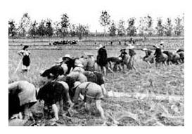Le mondine in risaia negli anni '50